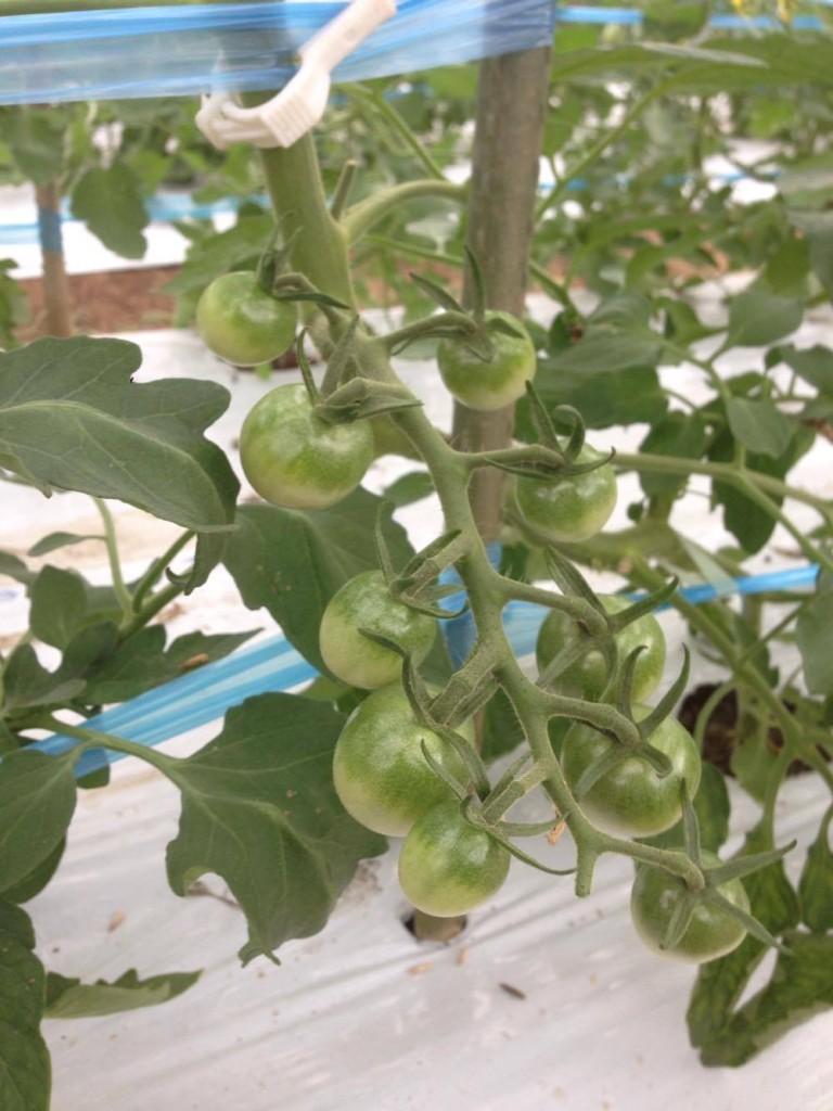 ミニトマト。あと一週間くらいで収穫だそうです。